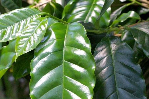 コーヒーの木の画像です