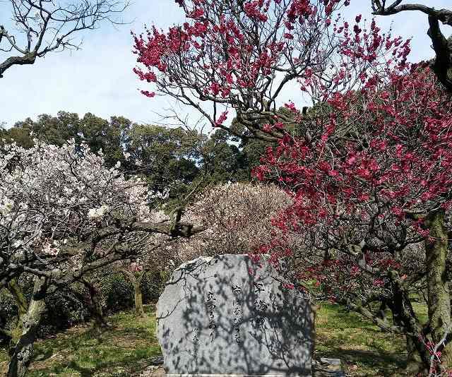 道明寺の梅の画像です