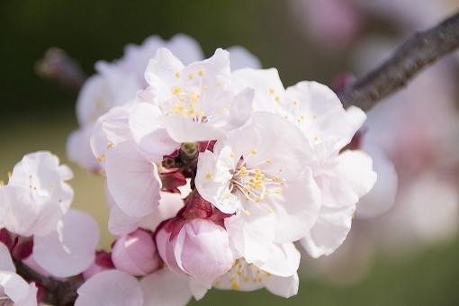 あんずの花の画像です