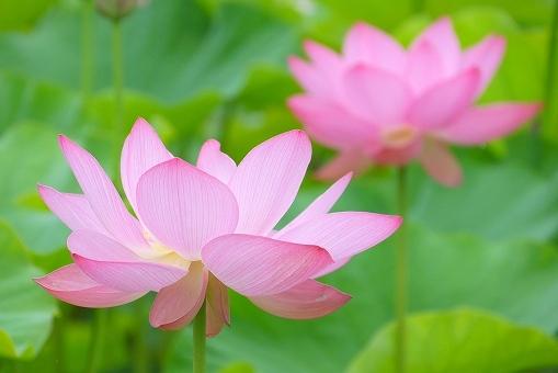 蓮の花の画像です