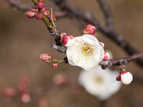 梅の花の画像です